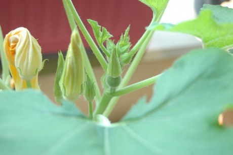 zucchini with female flower-close up